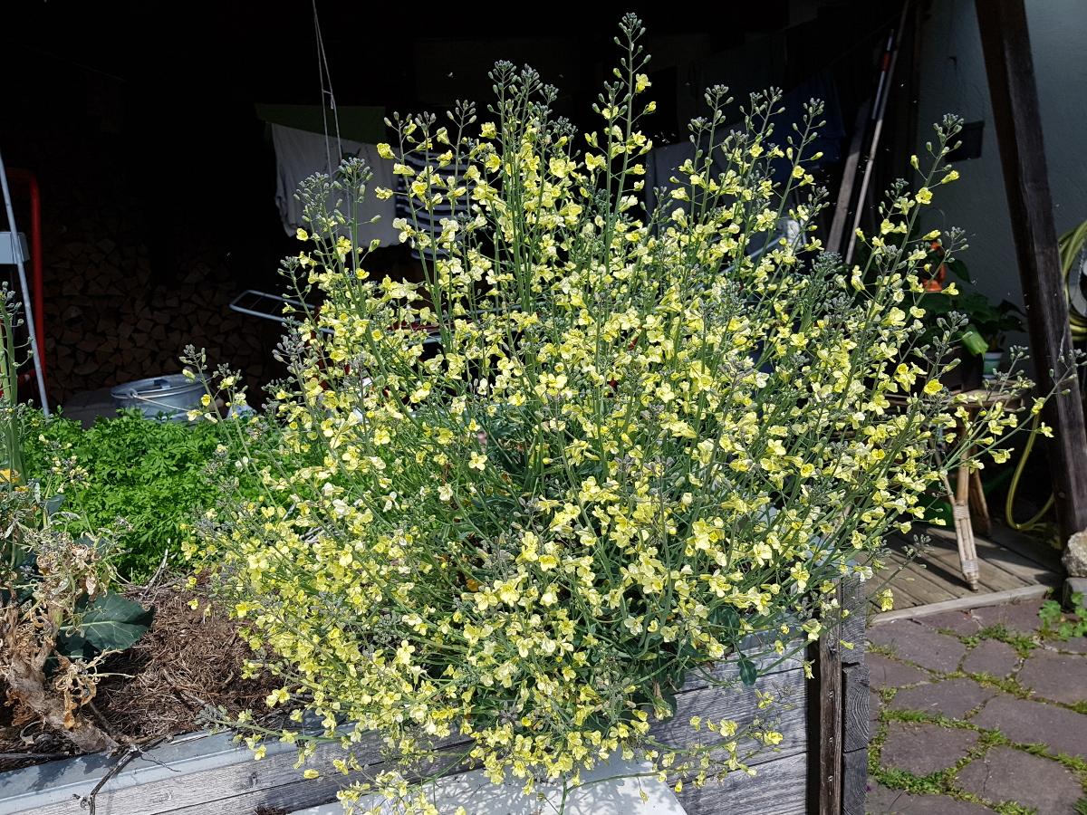 Brokkoli Blüte