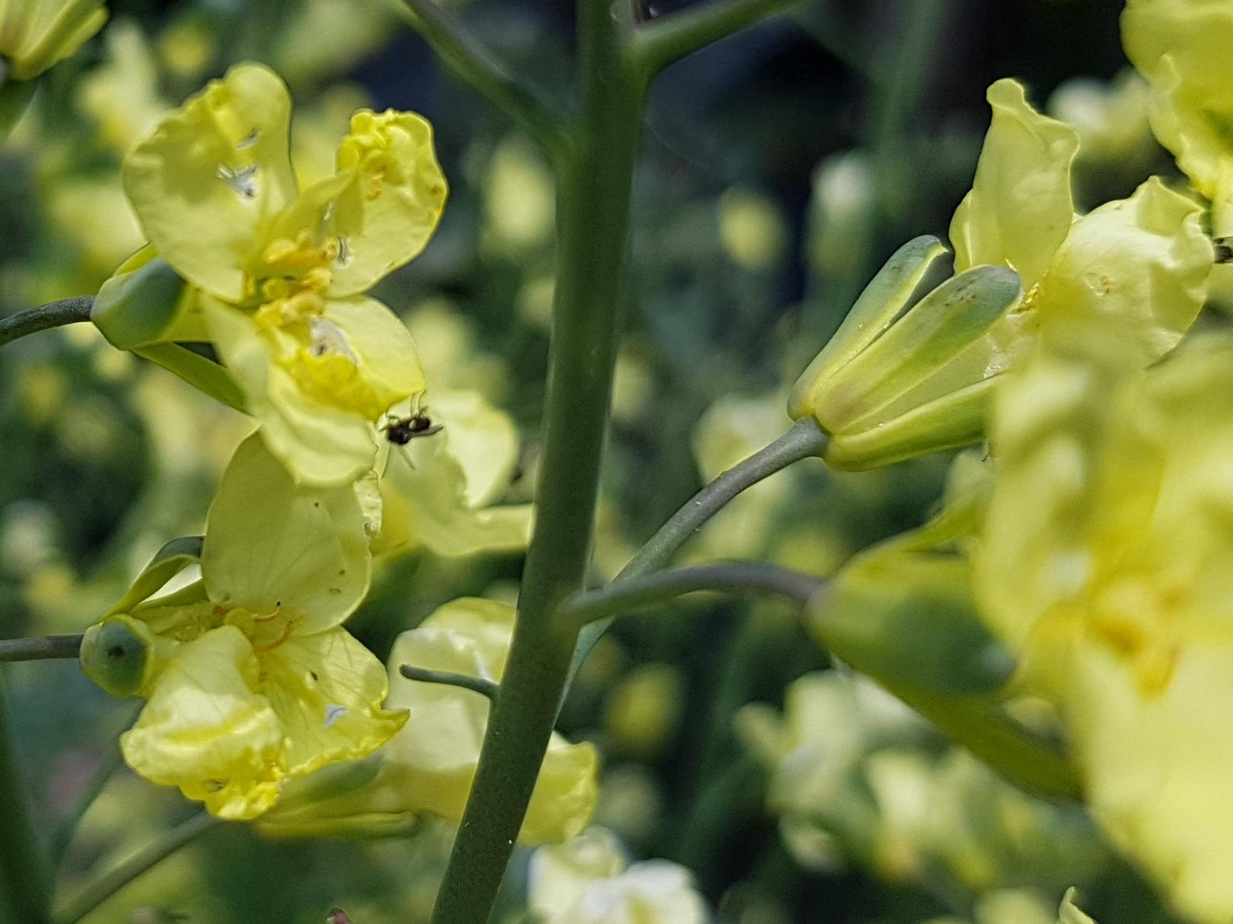 Brokkoli Blüte mit Wildbiene