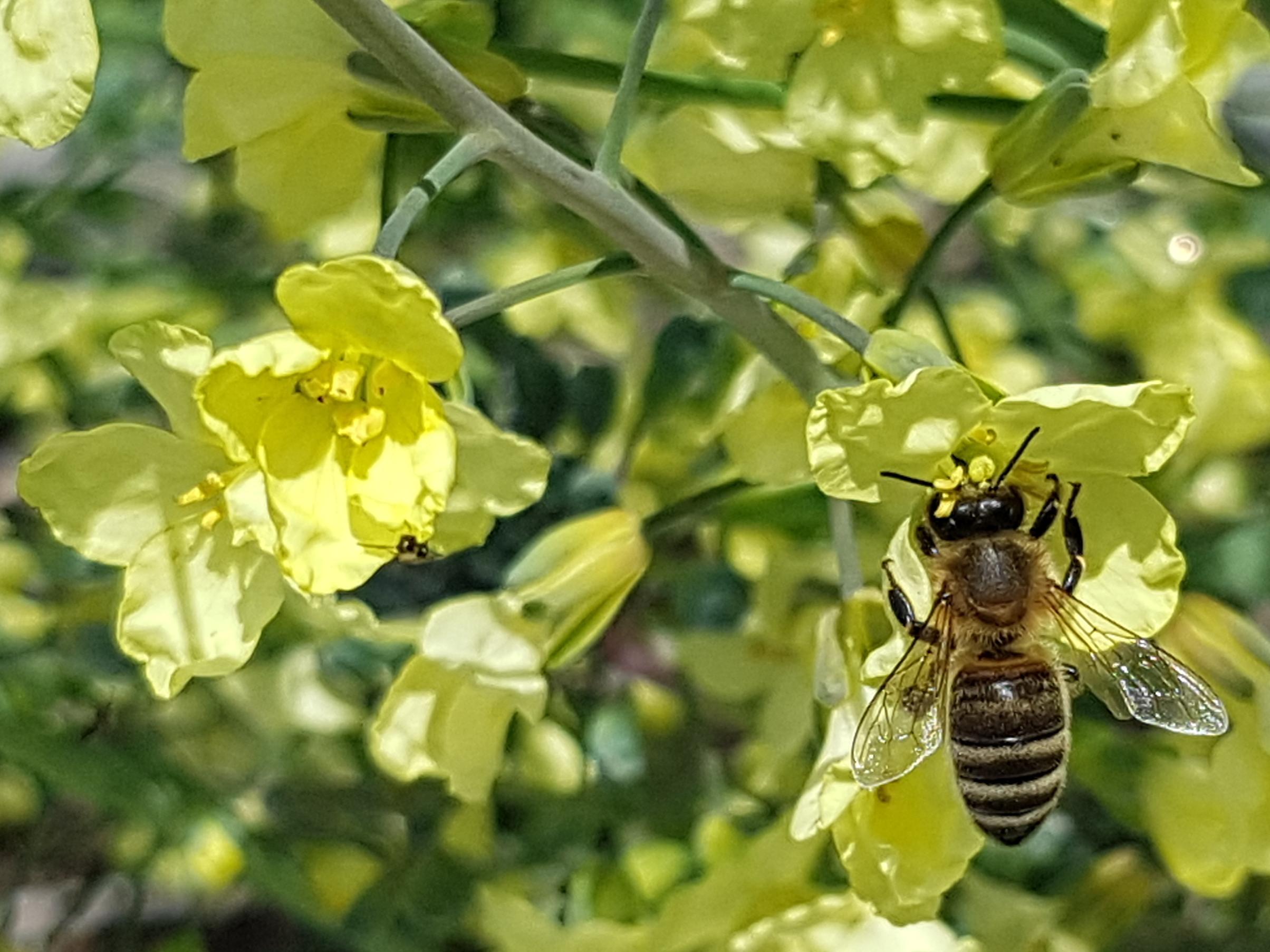 Brokkoli Blüte mit Biene