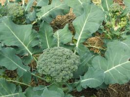 Gesunder Brokkoli im Juli. Jetzt bald verzehren, bevor die Kohlweißlinge kommen!