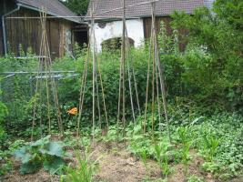 Bunte Mischkultur aus Zucchini, Stangenbohnen und Mais