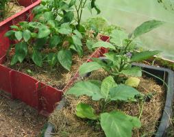 Auberginen neben Paprika ist natürlich kein Problem, wenn sie in getrennten Kübeln sind.
