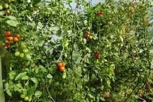 Tomaten Mitte Oktober in voller Pracht