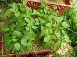 Wir pflanzen vier Paprika in den Kübel und in die Mitte eine Peperoni, das sieht sehr eng aus, wächst aber üppig auf ca. 1/4 Kompost