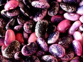 Kernbohnen aus der Steiermark - reiche Ernte
