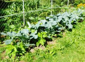 Der Brokkoli (und andere Kohlarten) stehen hier mit Unterpflanzung von Buschbohnen, die Stickstoff spenden.