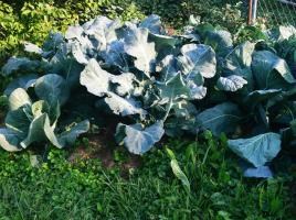 Wirsing, Weißkohl, Brokkoli wechseln sich in der Reihe ab. Zuerst macht Brokkoli Platz, dann Weißkohl, Wirsing bleibt als Winterkohl.