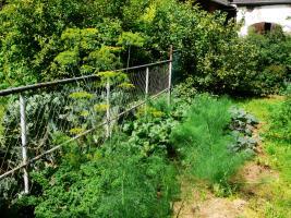 Grünkohl in Mischkultur mit Fenchel und im Hintergrund Kohlrabi. Dill hat sich versamt und seine Blüten schweben über allem.
