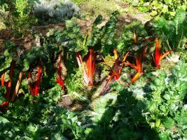 Mangold in Mischkultur mit Sellerie