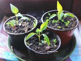 Peperoni im März kurz nach dem Pikieren