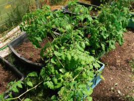 Der Tomaten-Kindergarten steht am 7.05. bereit zum Auspflanzen. Aber noch warten wir ab und können sie notfalls ins Haus holen