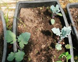 Die Kohlrabi stehen ganz am Rand, damit noch zwei Tomatenpflanzen in die Mitte passen