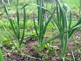 Lauch im Mai - zeitversetzt gepflanzt wegen der Lauchmotte
