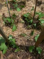 Stangenbohnen Ende Mai