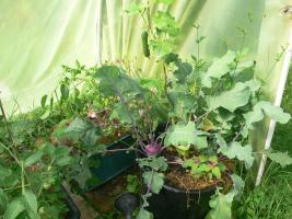 Kohlrabi als Unterbepflanzung der Gurke. Bald macht er Platz.