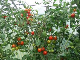Im September sind die Tomaten total zugewuchert und die Früchte reifen kaum. Nach dem Geizen und dem Kappen der Spitze reifen sie schlagartig.