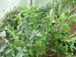 In die Tomatenkübel pflanzen wir Basilikum, weil sie sich gut vertragen und weil dann immer genug Basilikum für Tomatensalat zur Verfügung steht.