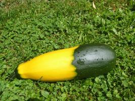 Zucchini halb gelb, halb grün