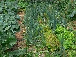 Zwiebeln mit Salat in Mischkultur